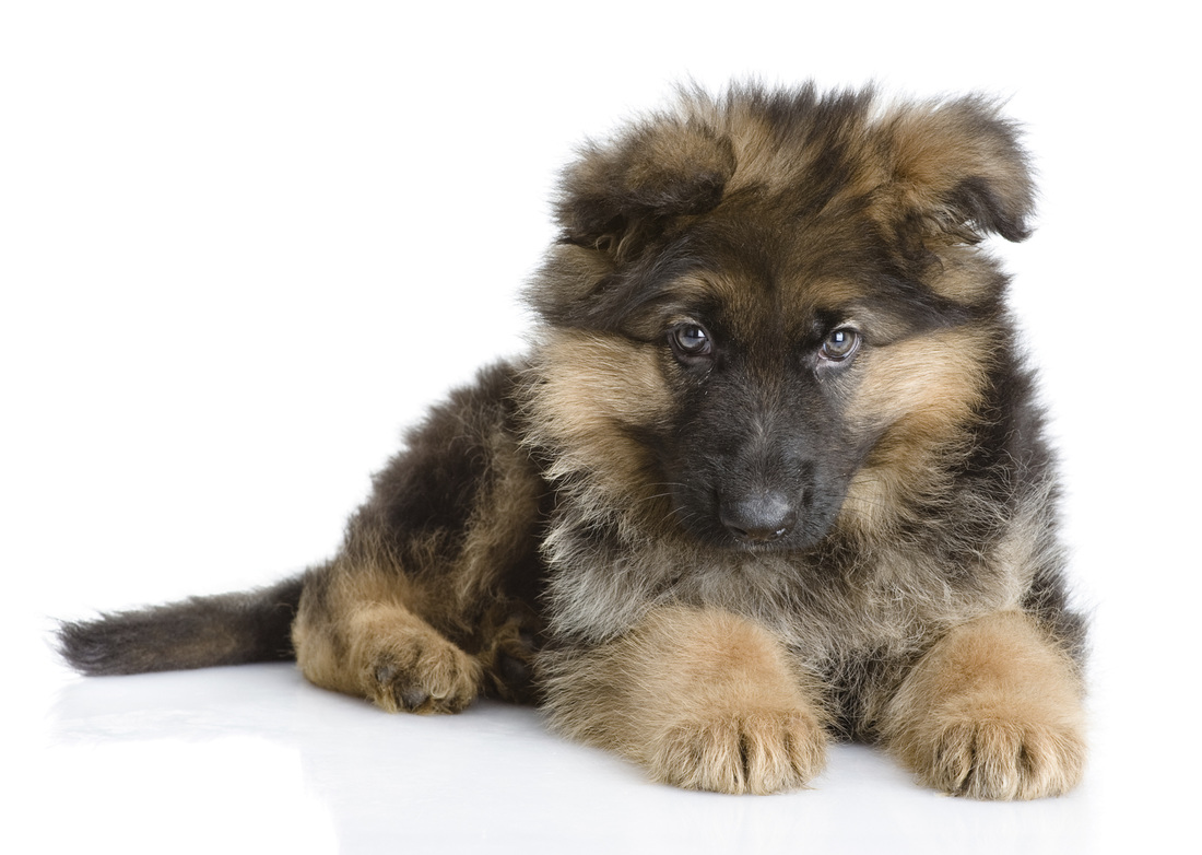 Long Coat German Shepherd Puppy